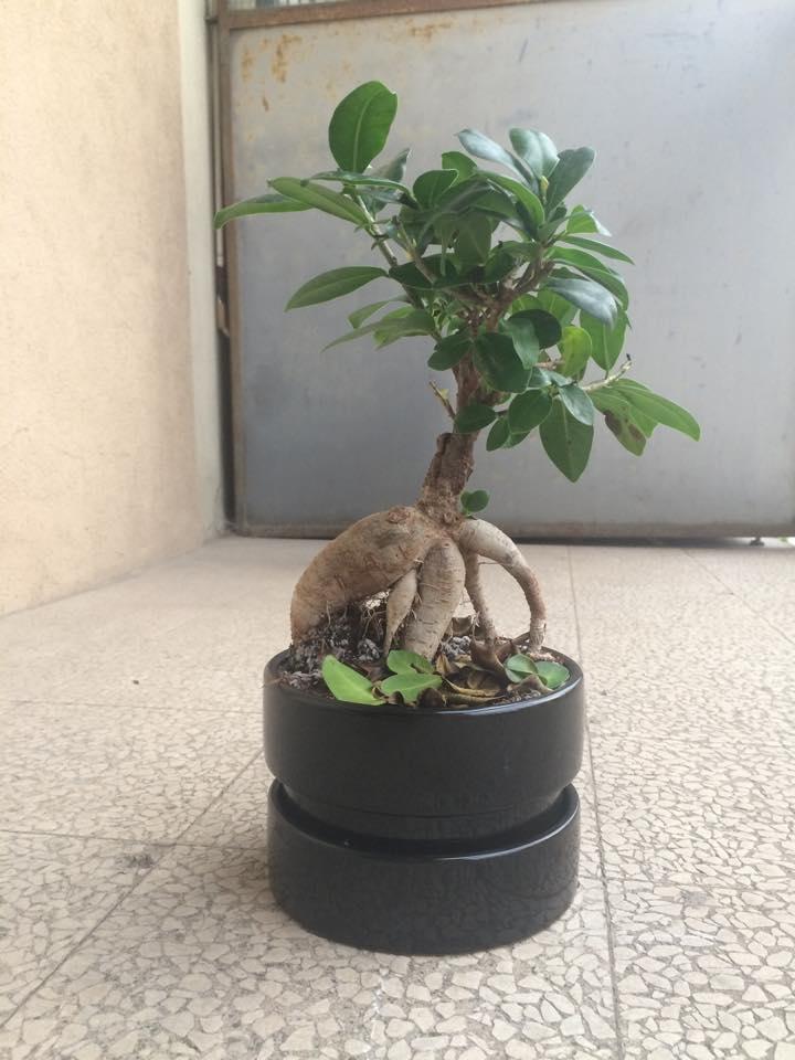 Primo bonsai!! 12650211