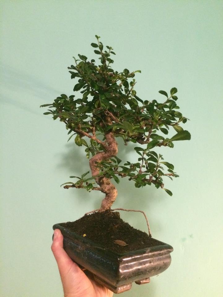 Primo bonsai!! 12660210
