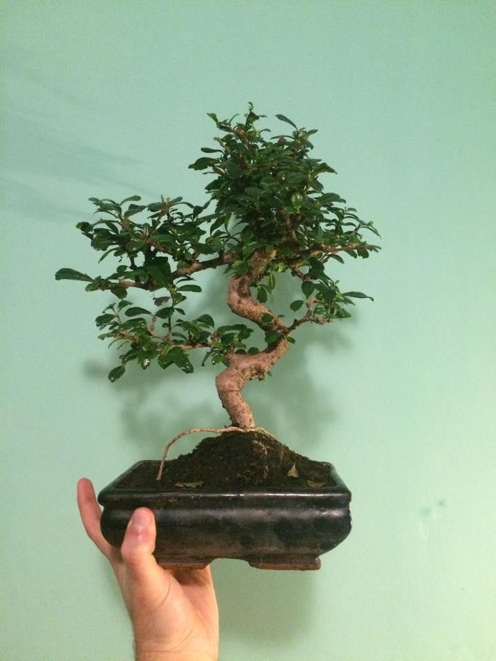 Primo bonsai!! 12665810