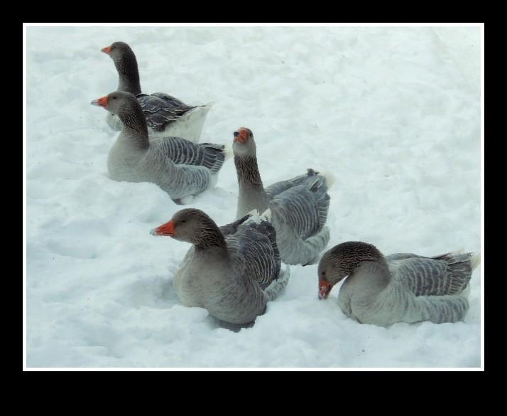 JAN-FEV les animaux et l'hiver : vos plus belles photos Oies_j11