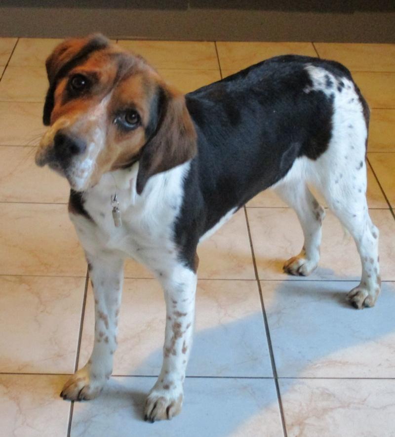 ELGA  beagle née 01/10/2014  adoptée par MARYLINE  ( 79 ) Img_0010
