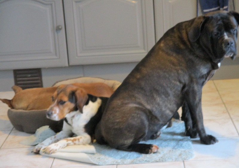 ELGA  beagle née 01/10/2014  adoptée par MARYLINE  ( 79 ) Img_0011
