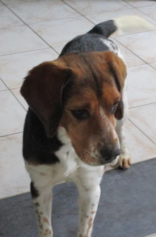 ELGA  beagle née 01/10/2014  adoptée par MARYLINE  ( 79 ) Img_0016