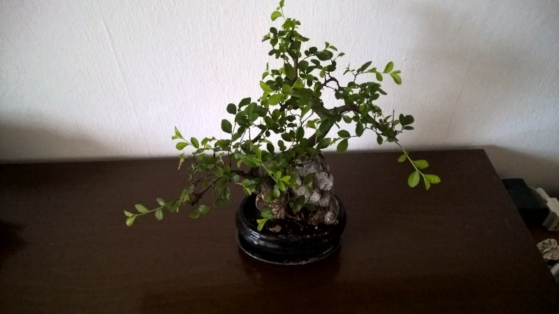 Nuovo bonsai Wp_20127