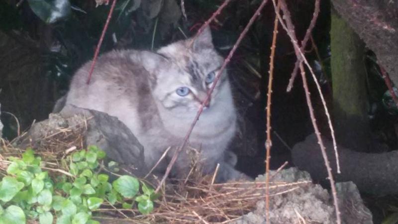 Recherche solution pour famille de chats siamoisés à la rue (Biarritz) 12645110