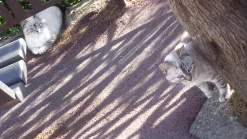 Recherche solution pour famille de chats siamoisés à la rue (Biarritz) 20160211
