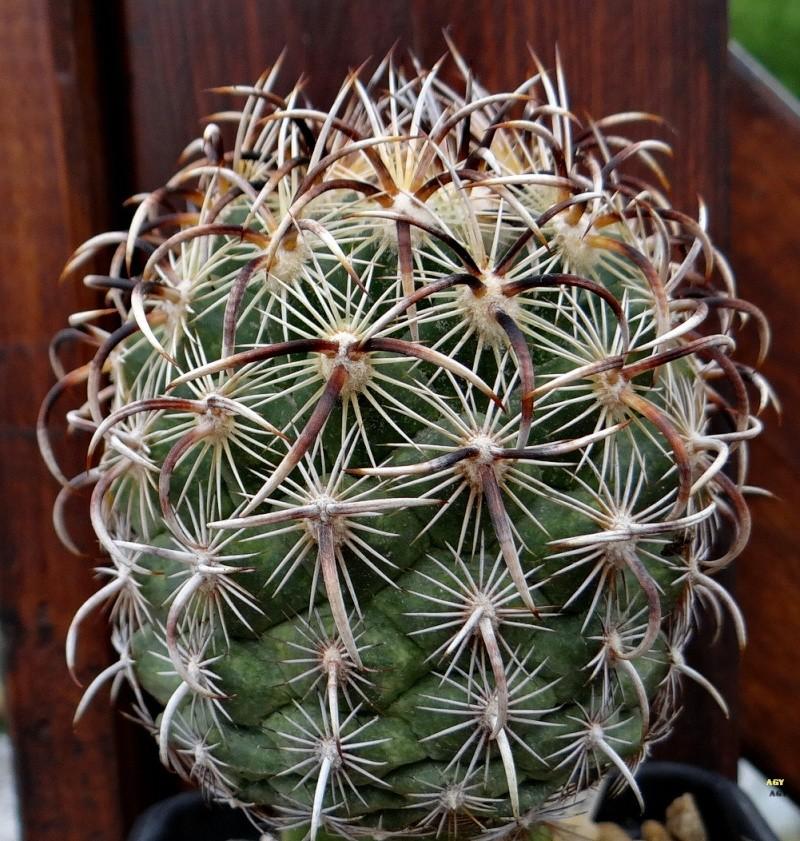 Coryphantha kracikii Dsc04513