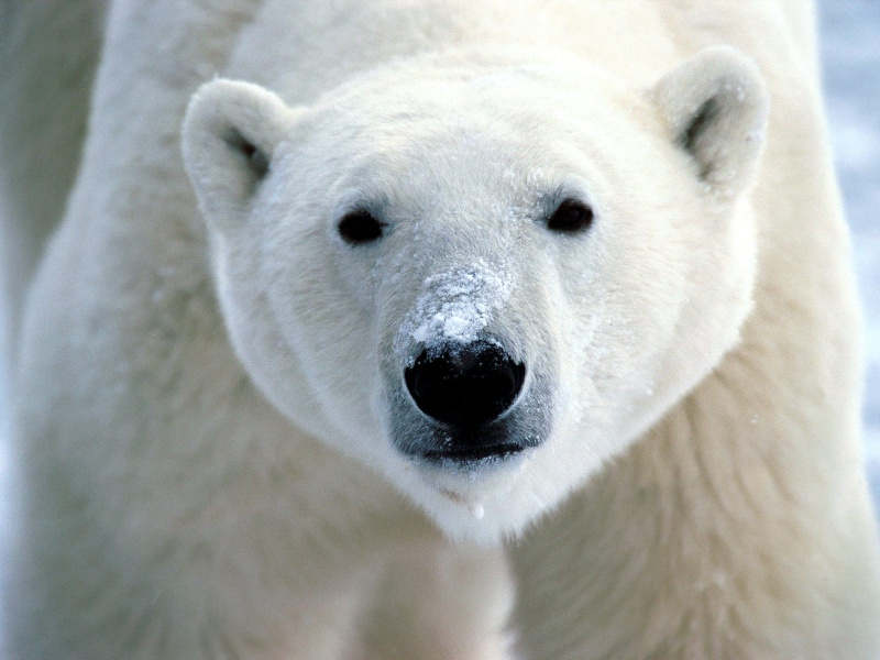 L'OURS BLANC 03741912