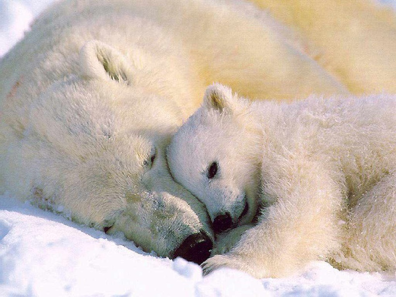 L'OURS BLANC 7maman10