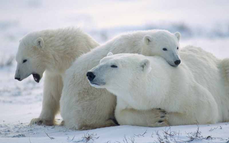 L'OURS BLANC E0ours10