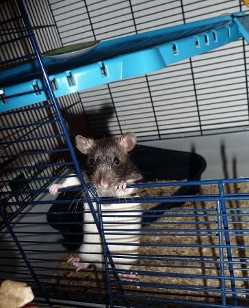 Ma première ratte P1110711