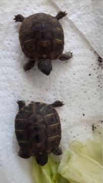 Identification de mes tortues 20180911