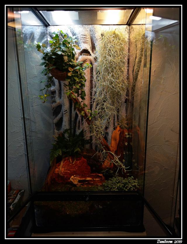Création premier Terra (Lygodactylus williamsi) 00110