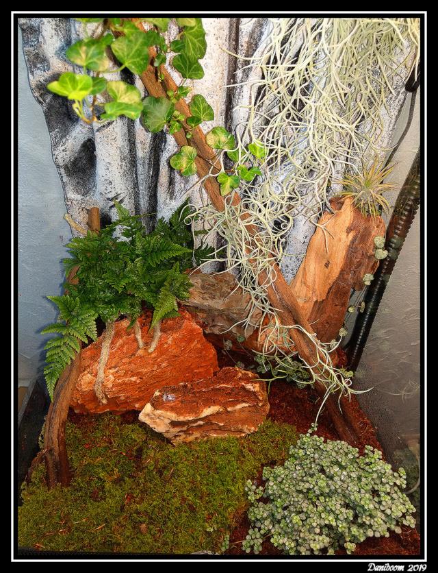 Création premier Terra (Lygodactylus williamsi) 00210
