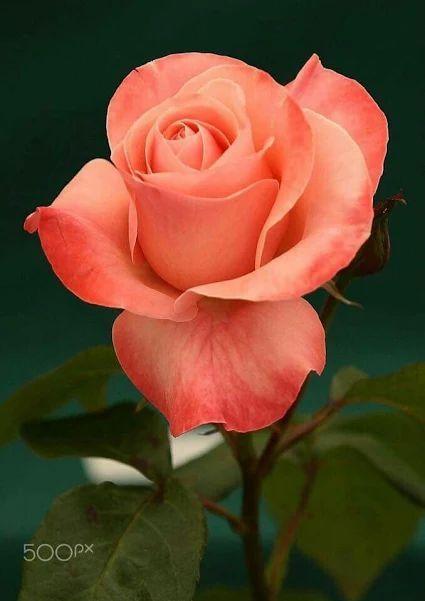 Le mystère de la Rose Ad141110