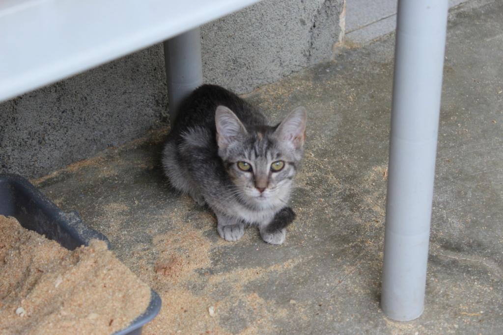 GABRIELA (chaton femelle tigrée) Gabrie10