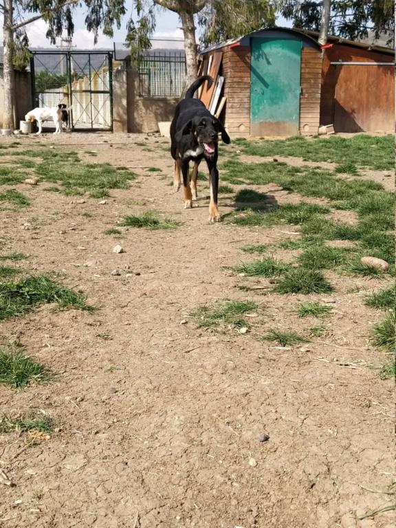 FALCO (chien croisé border) Img_2045