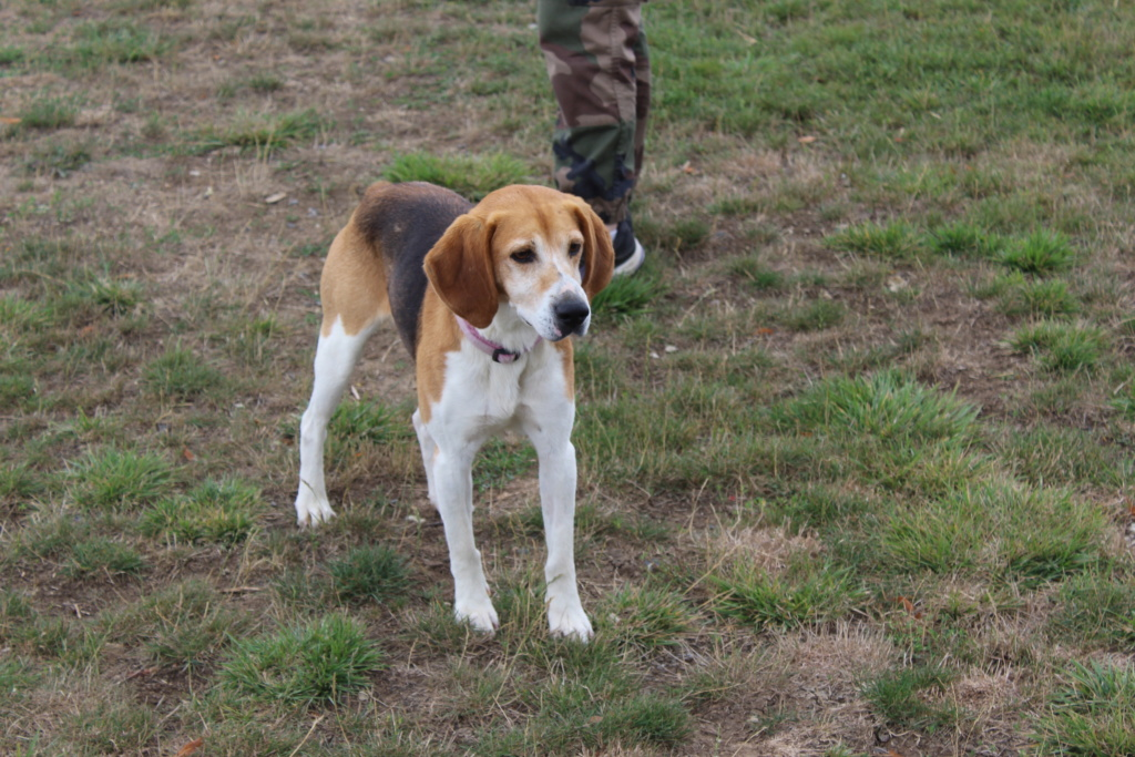 IODA (mâle croisé beagle) Ioda10