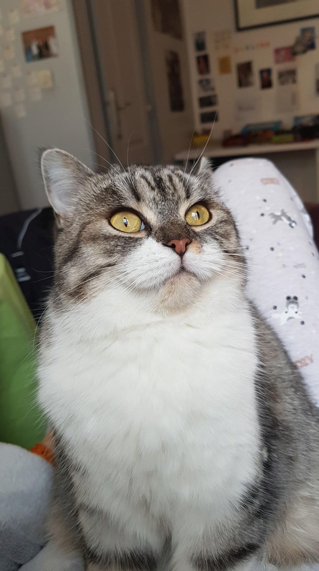 Nella, femelle tigrée blanc/gris stérilisée 51182310