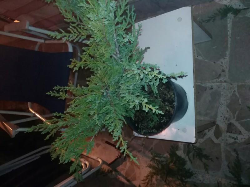 Bonsai da una pianta da vivaio 20180910
