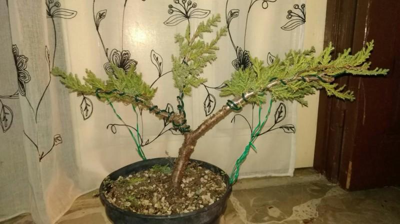 Bonsai da una pianta da vivaio 20180911