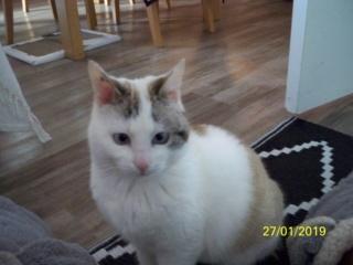 OLEA, femelle, beige,blanche type seal point née en juillet 2018 100_0521