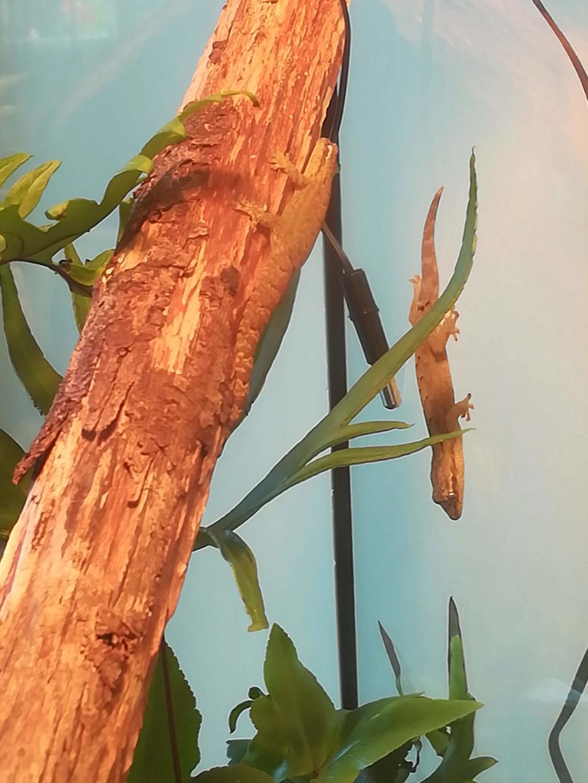 Mes Lepidodactylus lugubris (gecko nain) sont d'elles heureuses ? Img_2014