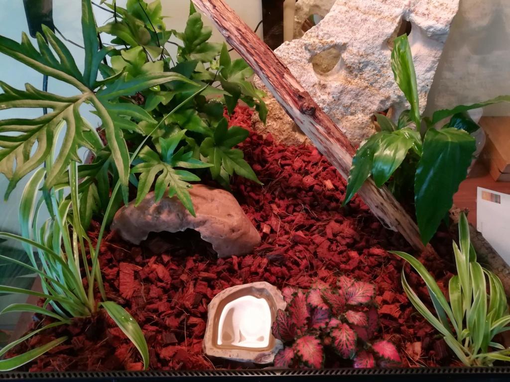Mes Lepidodactylus lugubris (gecko nain) sont d'elles heureuses ? Img_2016
