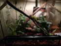 Mes Lepidodactylus lugubris (gecko nain) sont d'elles heureuses ? Img_2018
