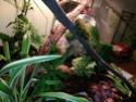 Mes Lepidodactylus lugubris (gecko nain) sont d'elles heureuses ? Img_2019