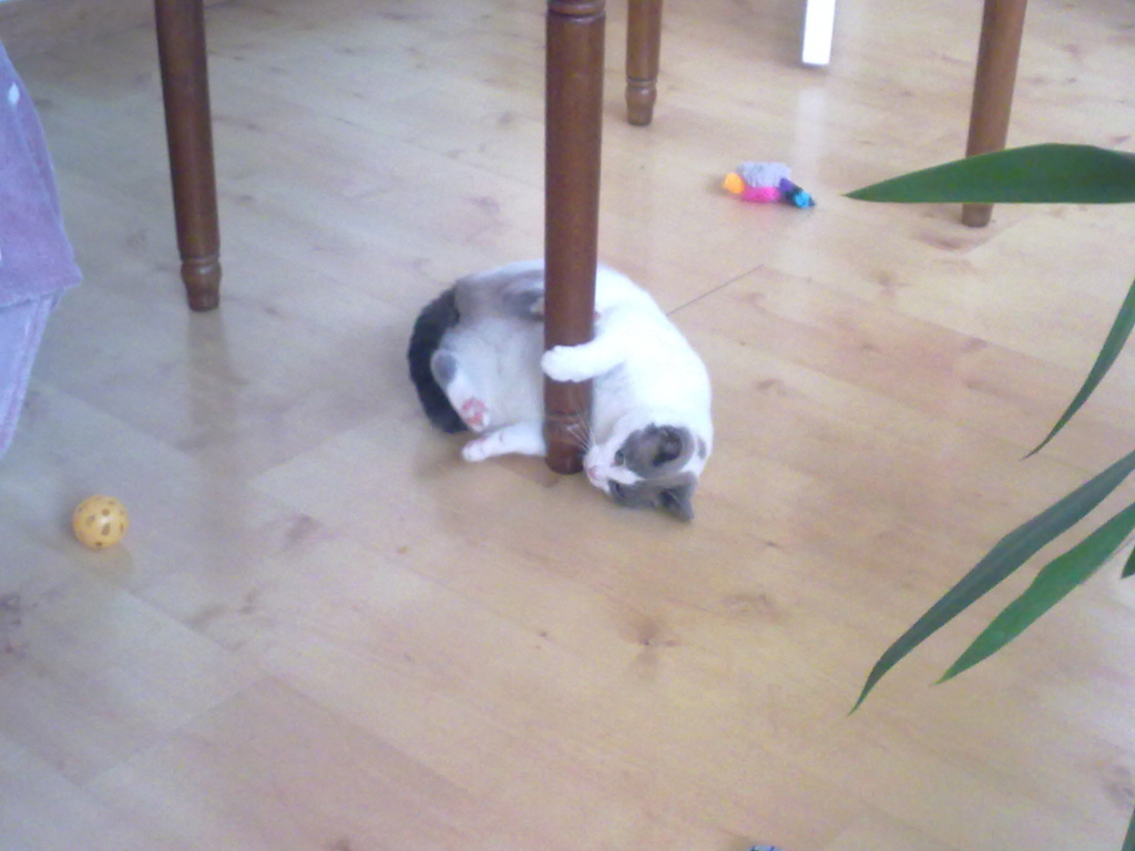 JUDE, chatte européenne seal point , née en août 2014 - Page 2 03022015