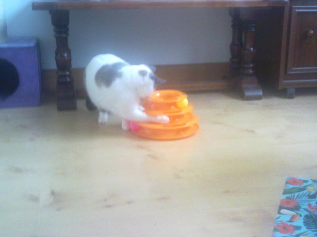JUDE, chatte européenne seal point , née en août 2014 - Page 2 08012016