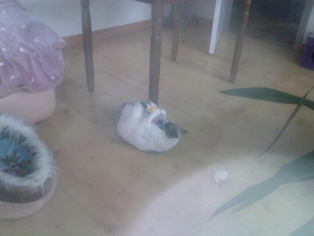 JUDE, chatte européenne seal point , née en août 2014 - Page 2 20012016