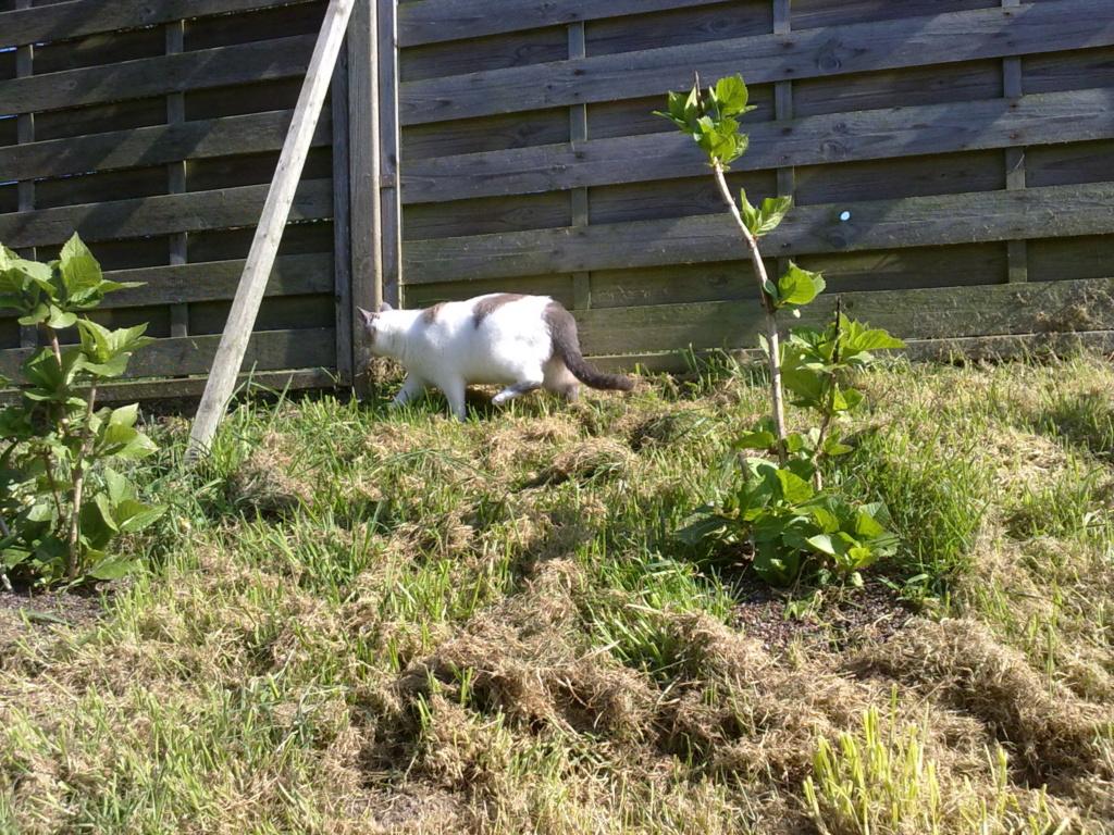 JUDE, chatte européenne seal point , née en août 2014 - Page 2 28032015