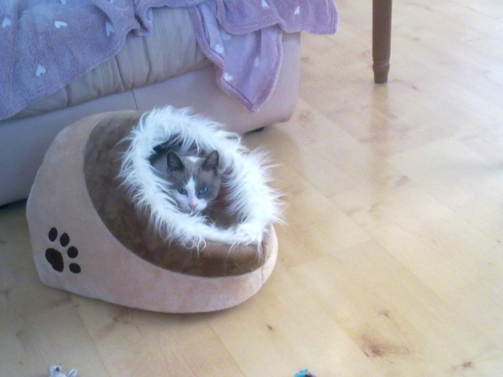 JUDE, chatte européenne seal point , née en août 2014 - Page 2 31012010