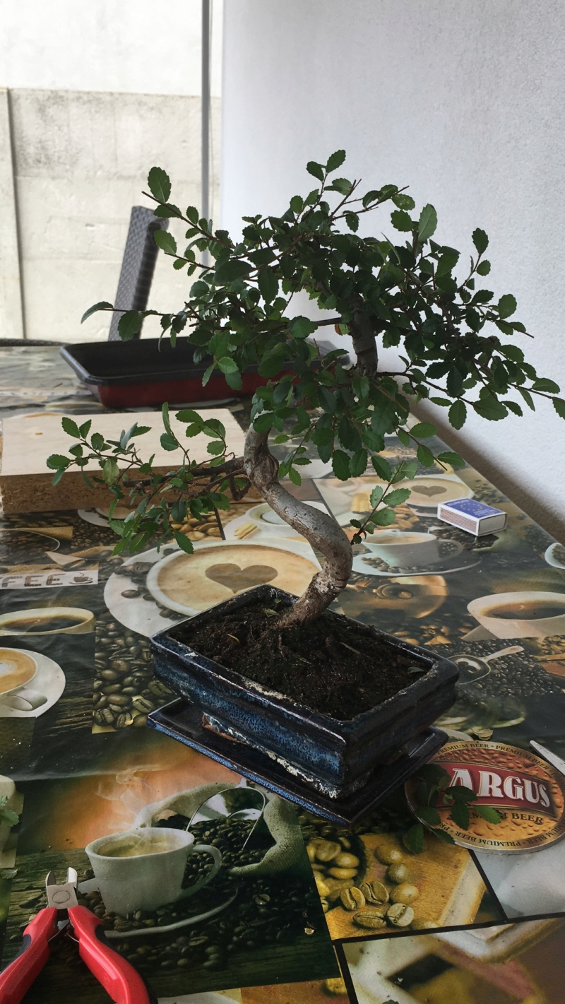 Chinese elm bonsai in dire need. Bfbo1210