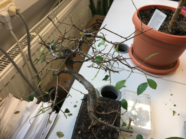 Chinese elm bonsai in dire need. Img_1414