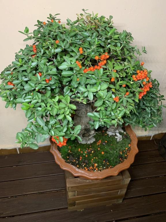 Se le caen las hojas (Olmo chino) 604f2910