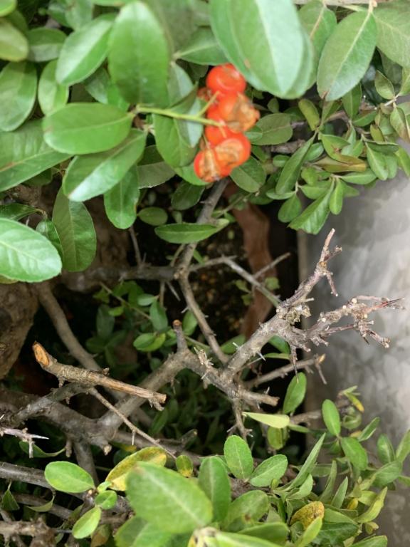 Se le caen las hojas (Olmo chino) 62b85010