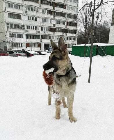 ВОСТОЧНО-ЕВРОПЕЙСКАЯ ОВЧАРКА ВЕОЛАР  ВАРГУН 20190621