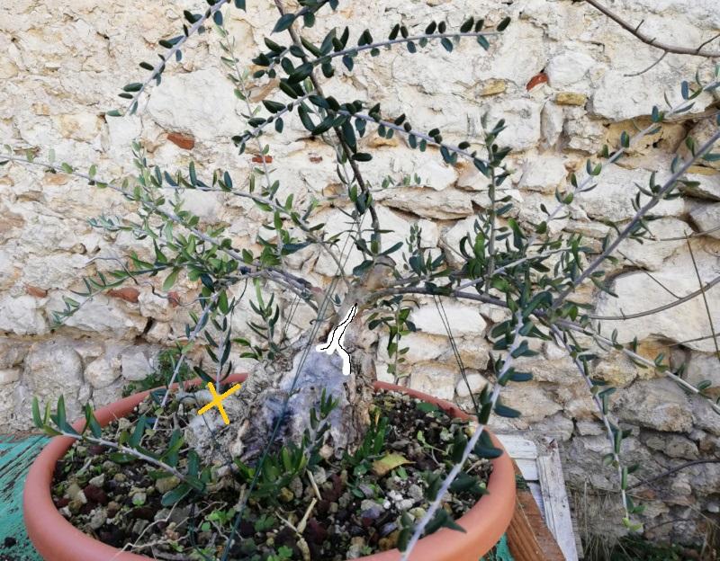 Lavorazione del secco di olivastro: sabamiki o cos'altro? Olivas10