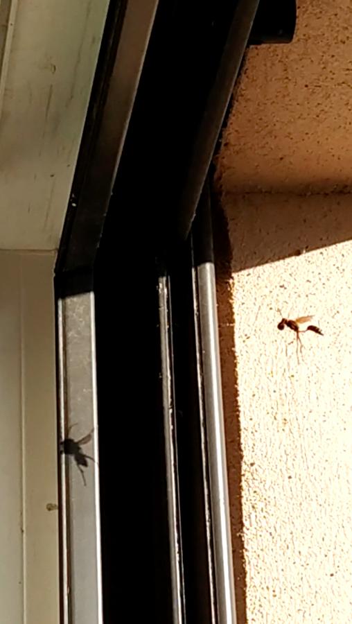 Guêpes à ma fenêtre, dois-je m'inquiéter? Captur10