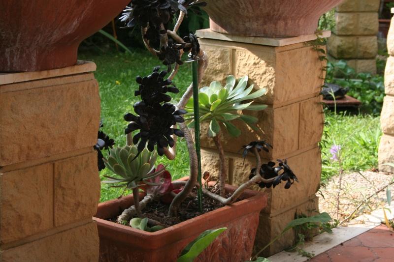aeonium arboreum schwarzkopf Aeoniu12