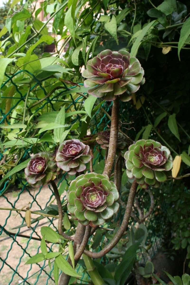 aeonium arboreum schwarzkopf Aeoniu13