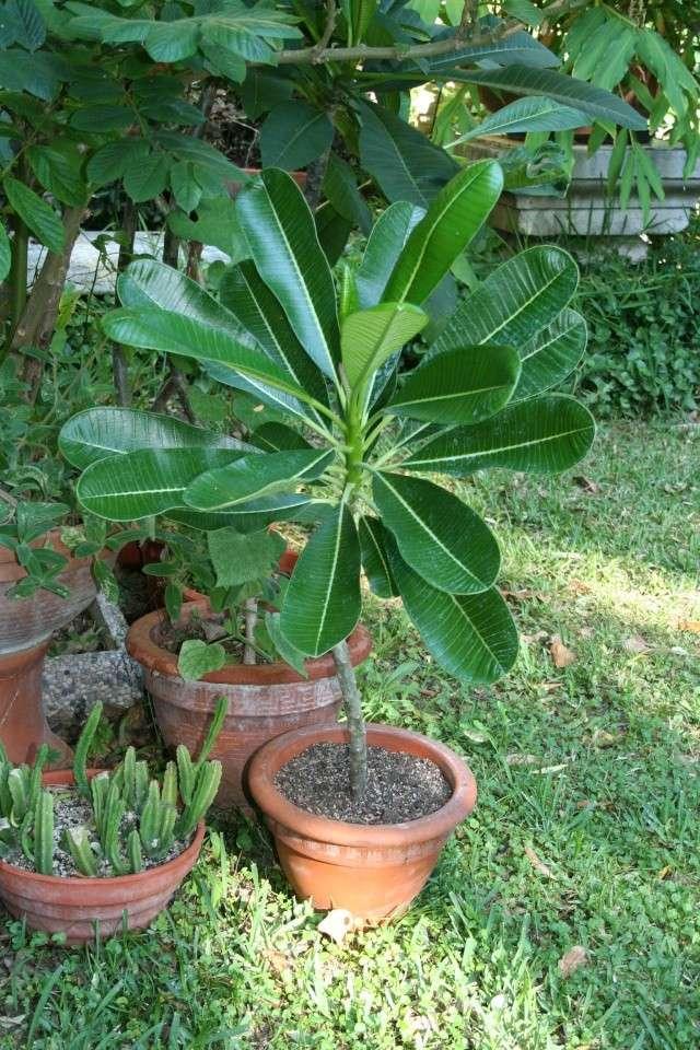 """Plumeria obtusa """"singapore"""" Apocyn10"""