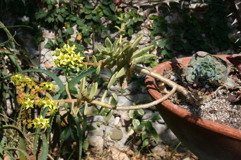 Succulente  identifiée [ Graptosedum 'Francesco Baldi' ]  Grapto12
