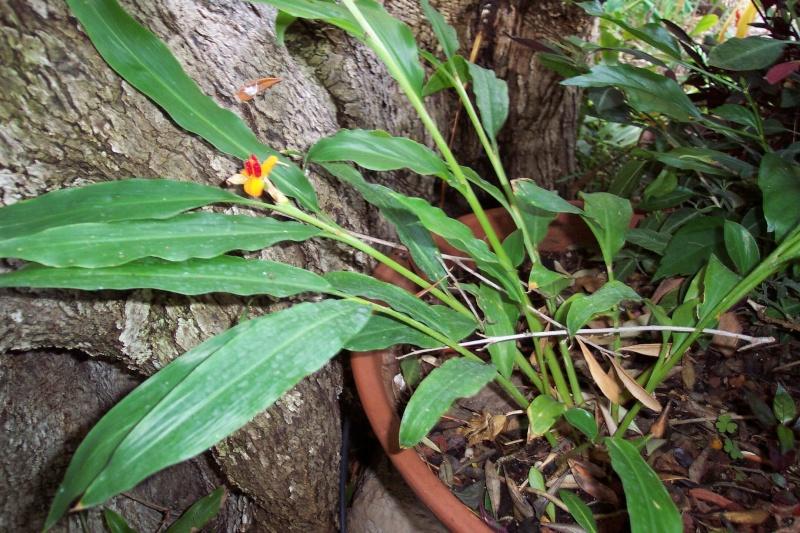 Quel est ce gingembre ? Hedychium (brachychilum) horsfieldii  Hedych10