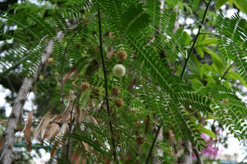 Quelqu'un connait il cet arbre ?? Un acacia ? Leucae10