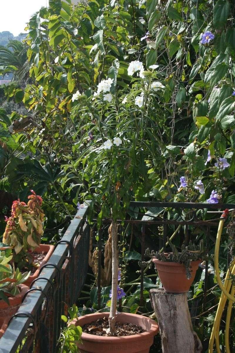 "Plumeria obtusa ""singapore"" Plumer10"