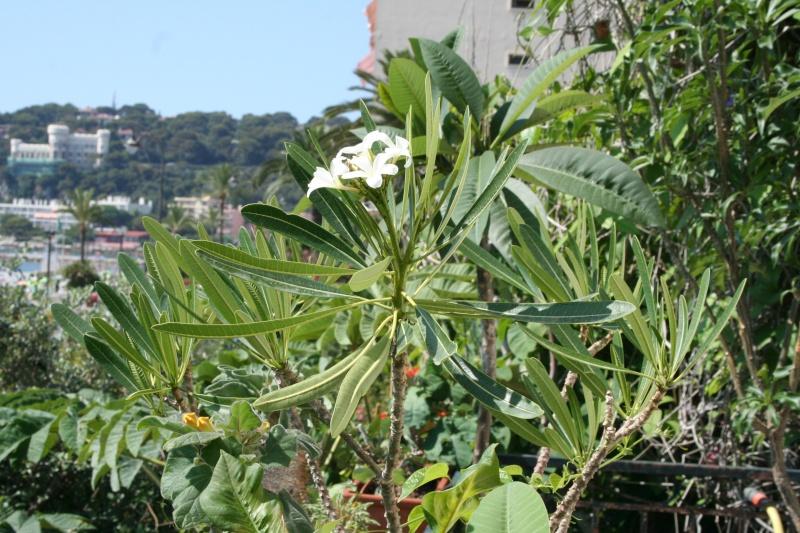 "Plumeria obtusa ""singapore"" Plumer11"